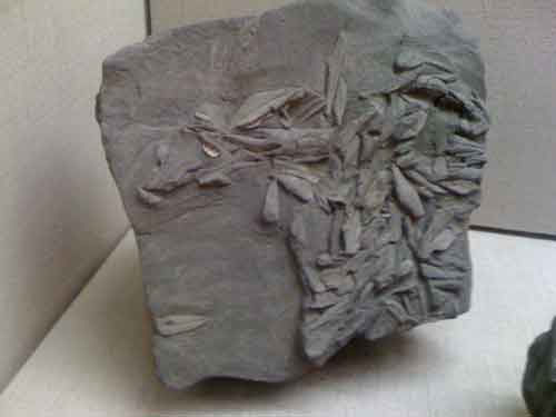 Απολιθώματα φύλλων ελιάς στη Σαντορίνη