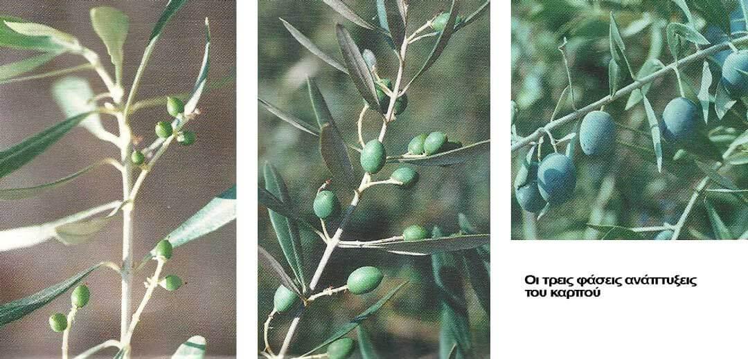 Φάσεις ανάπτηξης καρπού της ελιάς
